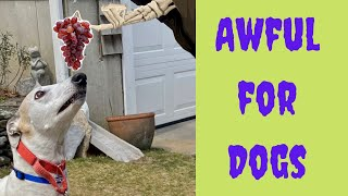 10 Worst Foods for Greyhound Dogs [greyhound adoption guide]