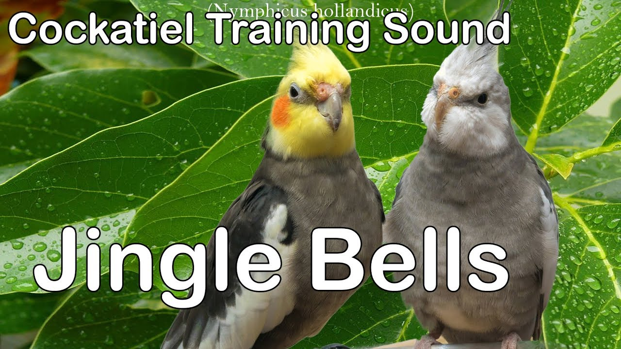 Jingle Bells - Whistle Cockatiel Training sound