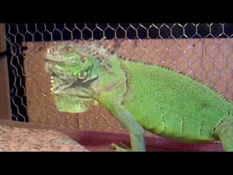 Terrarios para iguanas youtube - Como construir un terrario ...