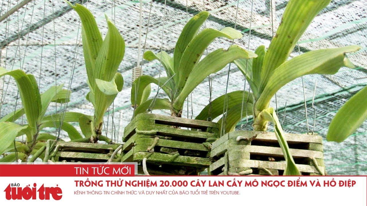 Trồng thử nghiệm 20.000 cây lan cấy mô ngọc điểm và hồ điệp