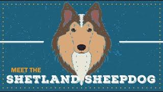 Shetland Sheepdog | CKC Breed Facts & Profile