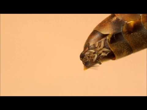 Strepsipteran emergence