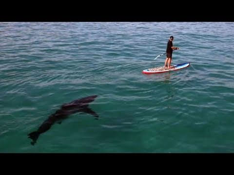 Great White Invasion Paddling With A Shark Youtube
