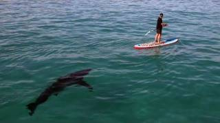 Great White Invasion - Paddling With a Shark