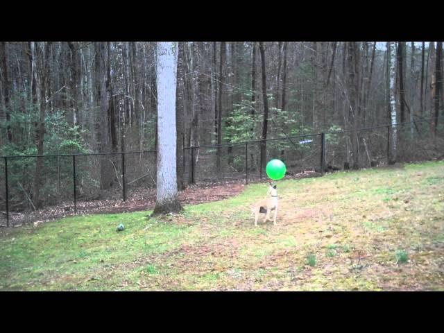 Amazing Ball-Bopping Whippet – 15 Bops for Radish