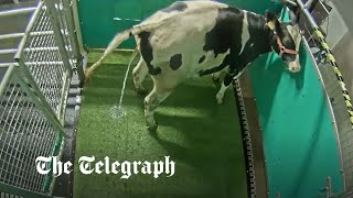 video: Potty training cows to use a 'MooLoo' could save the planet