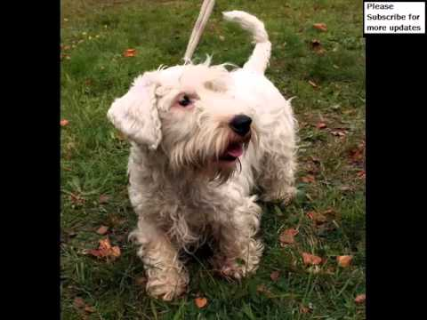 Dog Sealyham Terrier Puppy | Dog Pictures Of Terrier Dogs And Puppies