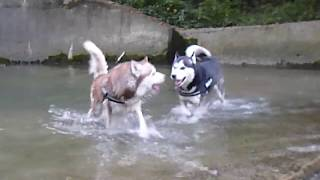 Husky Fight