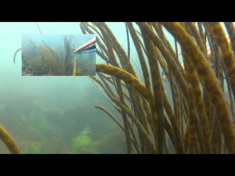 Guernsey Deeperblue Fish in 2012 Spearfishing HD
