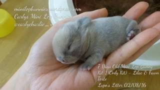 1 - 11 Day Old Mini Lop Baby (Part 4) Bunny Rabbit Kit Runt - Surprise Litter aka Holland Lop