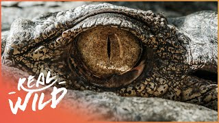 Wrestling Against Dangerous Alligators (Wildlife Documentary) | Savage Wild | Real Wild