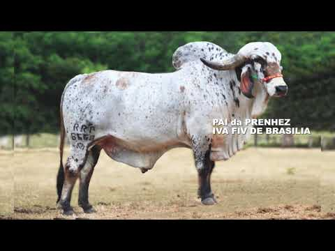 LOTE 03 PRENHEZ SOJA II DE BRASÍLIA