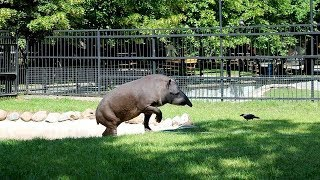 Отдых в Израиле. Парк Сафари. Тапир в зоопарке