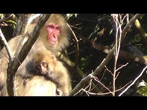 Wild Japanese Macaque Mother And Baby - Walking In Japan 野生の日本猿の母親と赤ちゃん - 日本でのウォーキング