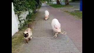 Pigs Take Cat for a Stroll
