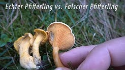 Echter Pfifferling vs. Falscher Pfifferling v2