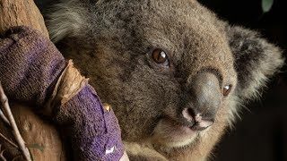 video: New South Wales bushfire destruction means koalas could 'disappear from the state by 2050'