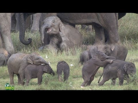 Play time of baby elephants !