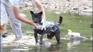 带中华田园犬下河洗澡,三条狗子一路飞奔欢呼雀跃,这画面太美了.发布中...