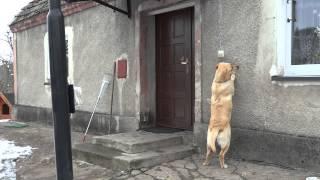 家の中に入れない犬、吠える代わりに「インターホン」を押しまくる