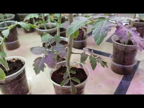 HOW TO PRUNE TOMATOES & PEPPERS - UNDERSTANDING DETERMINATE AND INDETERMINATE VARIETY (URDU/HINDI)