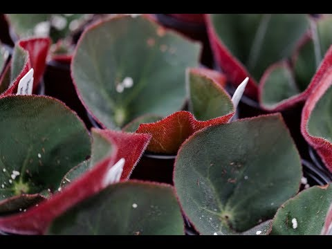 Ep 039: Begonia Propagation - Plant One On Me