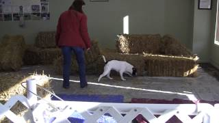 """Staffordshire Bull Terrier """"daisy"""" Barn Hunt Novice Match - First Place"""
