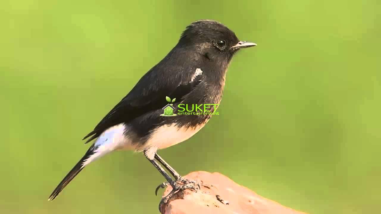 Download Gambar Burung Decu Pickini