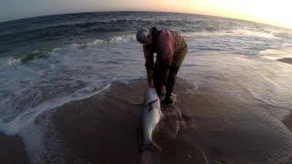 Серфінг-риболовля на окуня - величезний трофей корова стрипер випустили