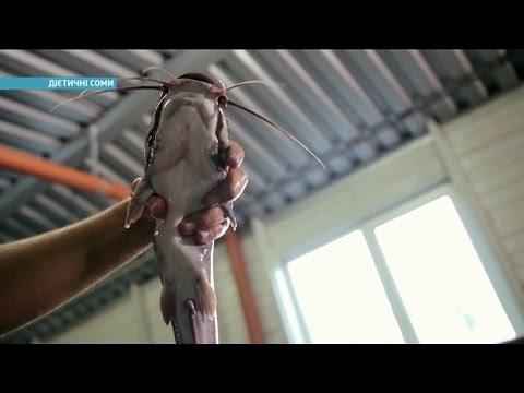Где в Украине выращивают диетических сомов   Ранок з Україною