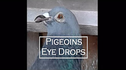 How to treat eye infection in pigeons - Optachlor - chloramphenicol - best eye drops for kabooter
