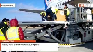 Львица Лола успешно долетела до Крыма