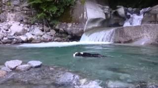 Bordercollieボーダーコリー ピース 一歳9ヶ月 川 西丹沢 泳ぐ プール