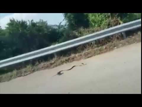 Une maman rat sauve son bébé d'un serpent