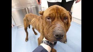 飼育放棄され体重が半分になった犬。 餓死寸前で発見され、その後飼い主...