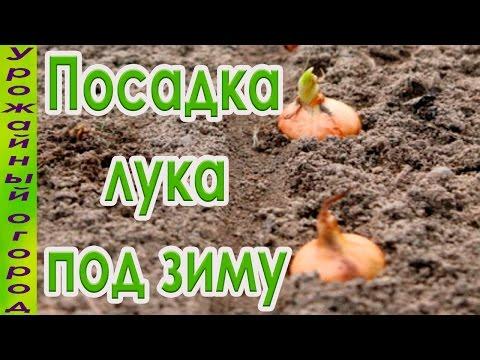 Как посадить лук репку под зиму