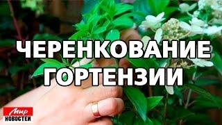 Черенкование гортензии - газета «Мир новостей»