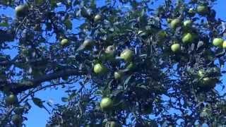 видео Обрезка яблонь осенью своими руками