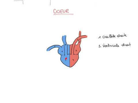 circulation sanguine animation