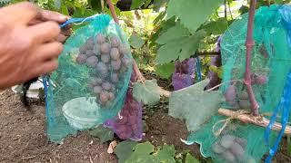 15 июля Одесская область, виноградник Кауненко под плёнкой