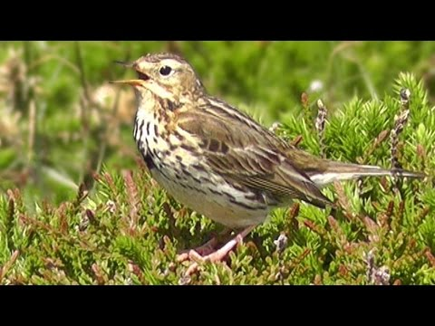Meadow Pipit Birds Singing and Chirping a Beautiful Bird Song