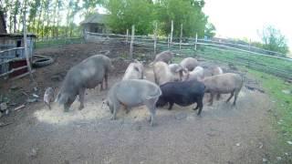 Содержание свиней. Как это происходит у нас// Жизнь в деревне