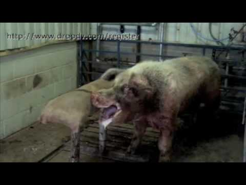 Theme, will boar sperm for sale has left