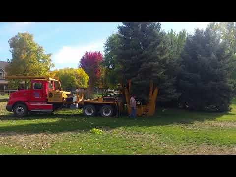 Melad Tree Farm Moving a large Colorado Spruce in Eagle Idaho.
