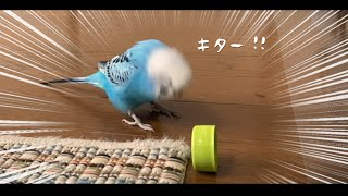Bottle Cap Lands on Edge! And This Is How Budgie Reacts...