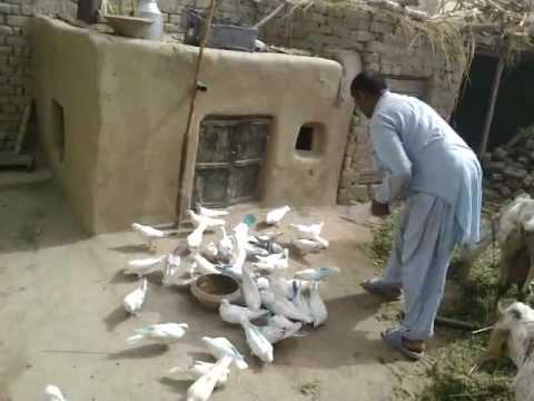 Kabootar Bazi 293/E.B Ram Jaane