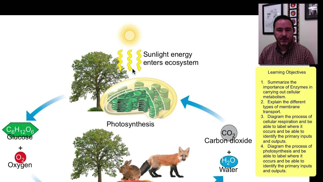 essay photosynthesis cellular respiration Title: understanding the scientific method: photosynthesis and cellular respiration instructions: based on the virtual experiment, you will answer some questions and.