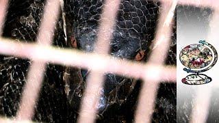 Inside Malaysia's Gruesome Snake Skin Trade