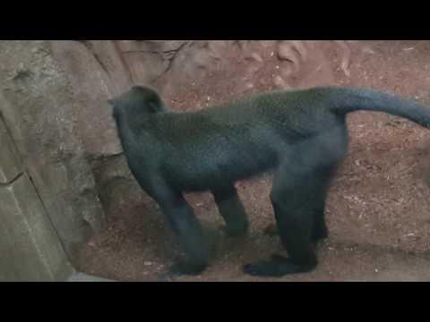 шустрая обезьяна