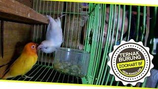 BIRD MARKET : Lovebird Zoonart Bird Farm Breeding Story
